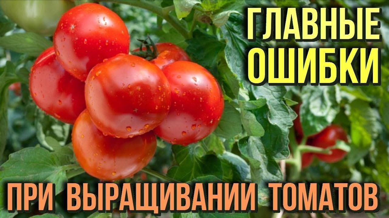 Ошибки в выращивание томатов